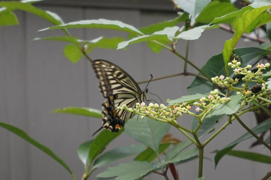 里見公園 蝶