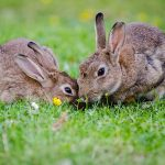 european-rabbits